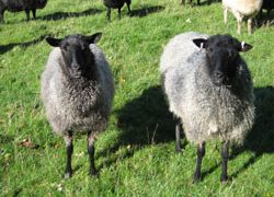Gotlands rare breed sheep