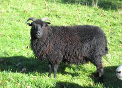 Hebridians rare breed sheep