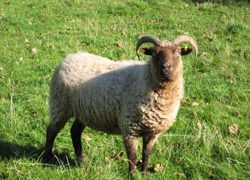 Manx Rare Breed Sheep