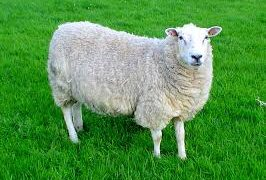 Llyen rare breed sheep